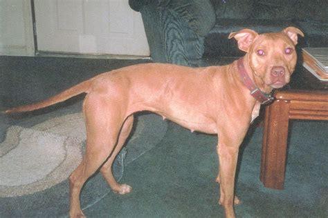 american pitbull terrier colors american pit bull terrier color chart american