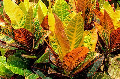 croton codiaeum plante d int 233 rieur planatation rempotage entretien