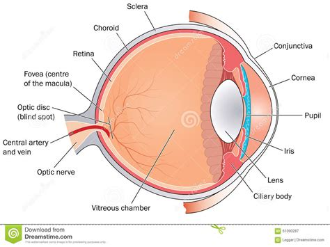 cross section of the human eye cross section through the eye stock vector image 61090287