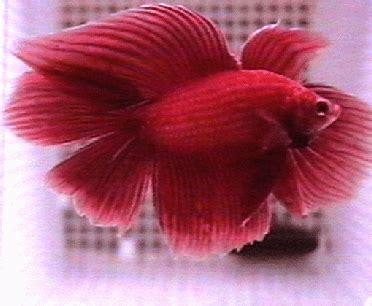 cara menghasilkan warna ungu pada ikan cupang warna pada ikan cupang jenis ikan cupang