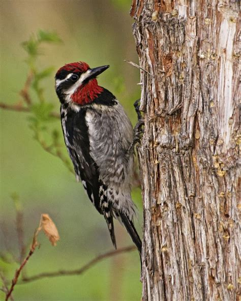 different types of woodpeckers with pictures you ll want to save