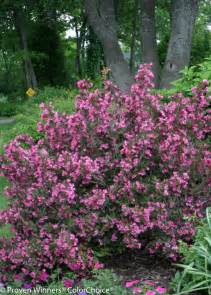 Purple Flowering Bushes Shrubs - wine amp roses 174 weigela florida proven winners