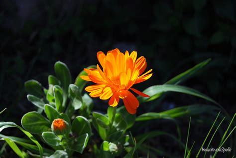peppino fiori fiore di co incantevole spello