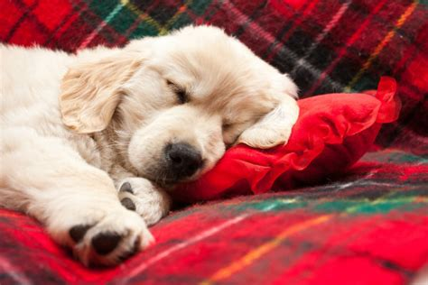 do dogs sleep why do dogs sleep so much american kennel club