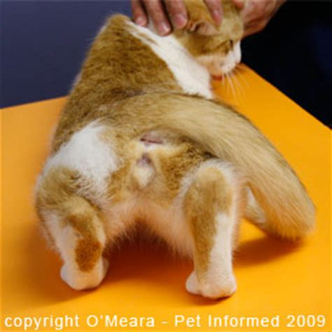 in heat symptoms neutered cat www pixshark images galleries with a bite