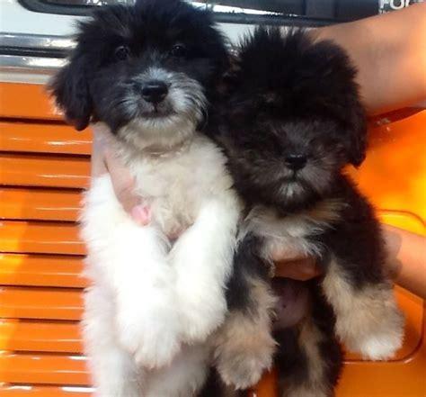 shih tzu tibetan terrier mix 17 puppies that look like teddy bears bored panda