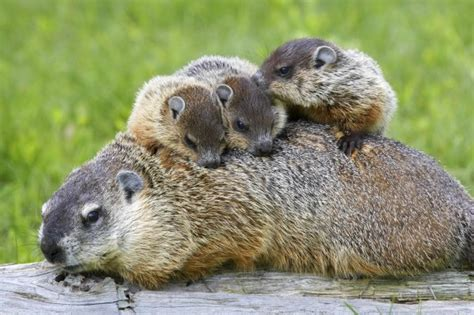 groundhog day type 9 things you didn t about groundhogs