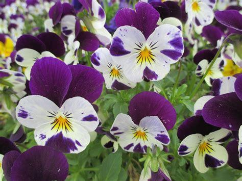 Fleurs De Printemps by Photo Gratuite Violette Printemps Fleurs Image