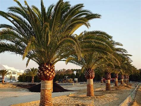 the most beatiful palm avenue miami landscaping designs blog canary island date palm
