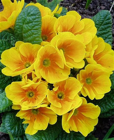 Fantastic Flowers For You All by 133 Best Primroses Images On Primroses