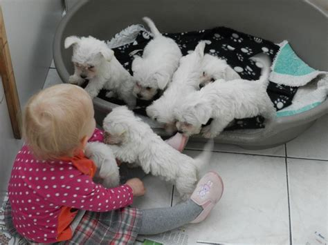 miniature bichon frise puppies for sale white bichon frise x miniature schnauzer puppies burnley lancashire pets4homes