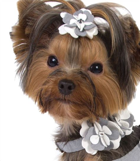 teacup yorkie collars best 20 haircuts ideas on