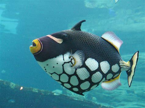 download mp3 gratis gigi ikan laut gambar foto jenis macam nama ikan hias air laut freewaremini