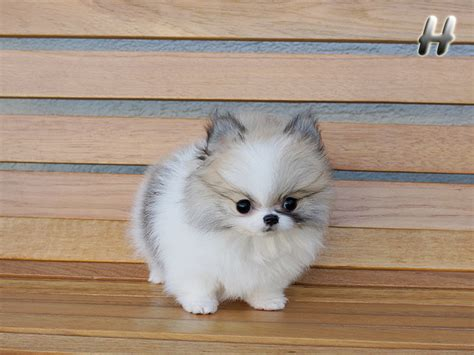 pomeranian teacups for adoption teacup micro pomeranian puppies available