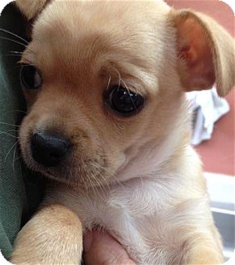 pug and beagle puppies bobby adopted puppy dublin ca pug beagle mix