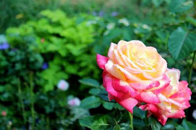imagenes de flores naturales bonitas imagenes de rosas naturales hermosas