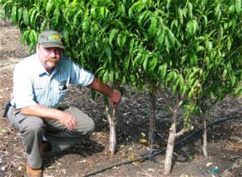 dave wilson nursery backyard orchard fruit trees archives hobby farm living