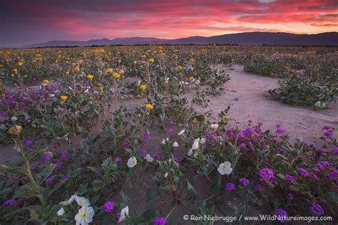 anza borrego wildflowers bloom anza borrego wildflower update 2015 photo