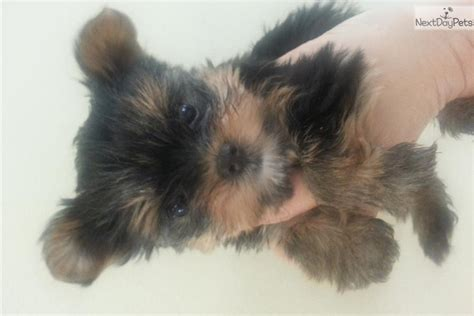 yorkie puppies orange county teacup yorkie terrier miniature yorkies breeder breeds picture