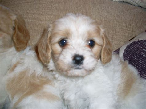 cavachon rescue dogs beautiful f1 cavachon puppies holyhead isle of anglesey