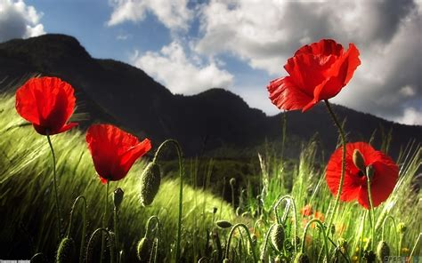 imagenes amapolas rojas poppy flowers wallpaper 15445 open walls