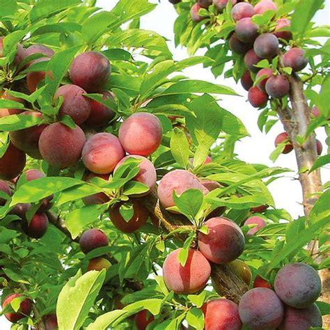 fruit trees for sale washington state methley plum plum trees stark bro s