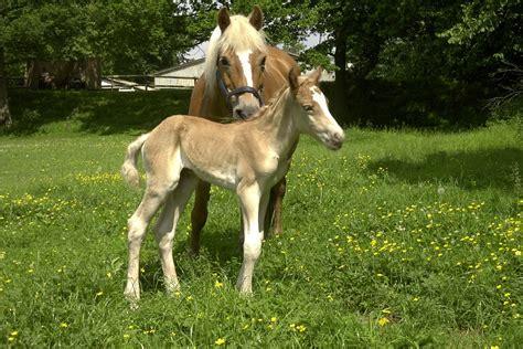 freie häuser zum kaufen free stock photo haflinger foal mare horses free