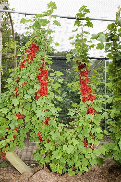 u cordon fruit trees pomona fruits buy fruit trees soft fruit bushes