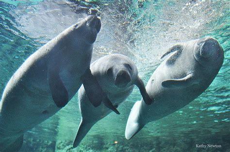 ohio family  rescued florida manatee  vip visit