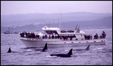 monterey whale watching boats monterey bay whale watch killer whale photo t0108