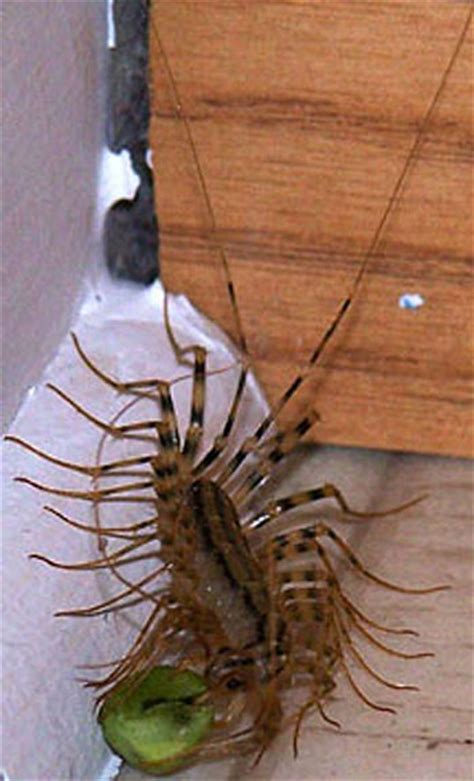 centipede in house house centipedes are venemous chicago rants