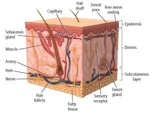 Chapter 5 The Integumentary System Worksheet Answers by Chapter Test Practice
