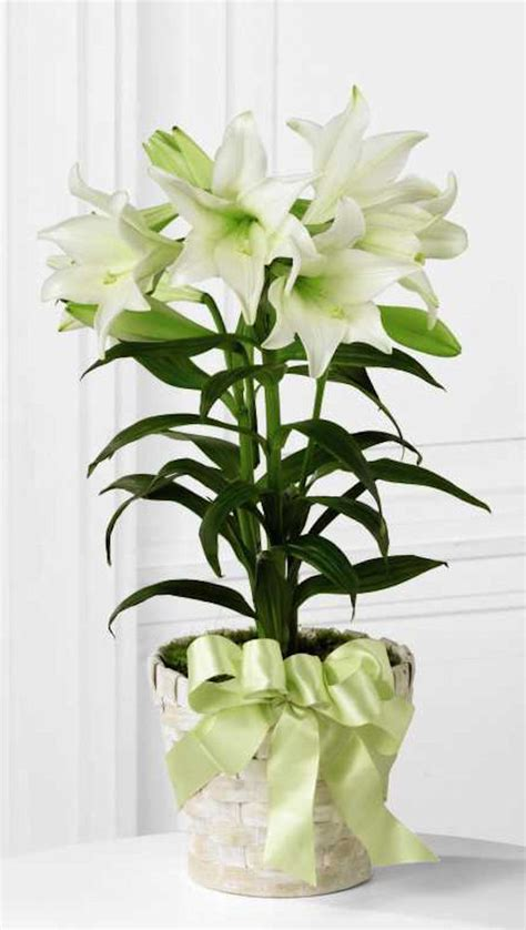 how to care for a potted easter lily plant
