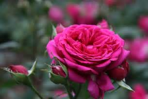 Most Fragrant Lavender Plants - cabbage roses a cabbage rose must read