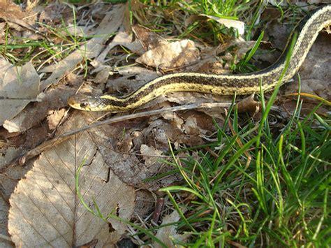Garden Snake Identification Garter Snake Flickr Photo