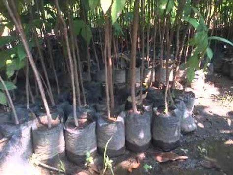 Jual Bibit Cengkeh Di Makassar jual bibit sukun di makassar sulawesi selatan