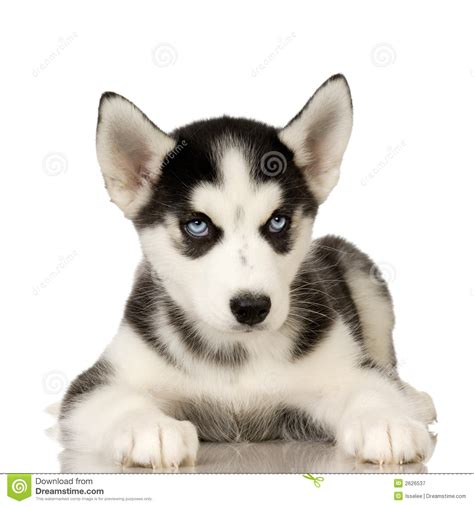 pug puppies for sale bay area pomsky puppies for sale bay area pomsky picture breeds picture