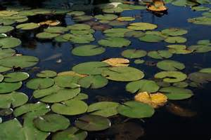Lily Pads For Ponds File Pond Of Water Lilies 3400959101 Jpg Wikimedia Commons