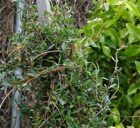 Tazmanian Referred For Blackberry 9900 9980 billardiera longiflora purple apple berry plant lust