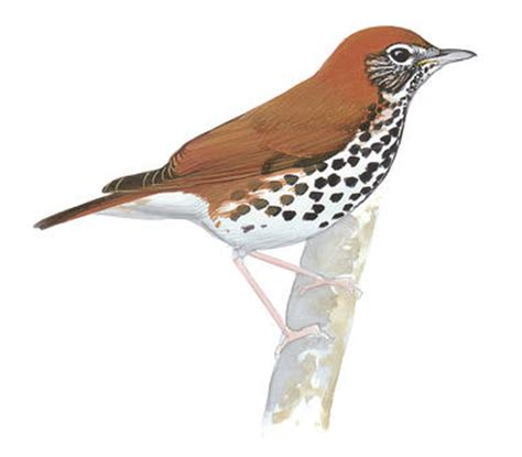More Than Just Birds Wood by Swainson S Thrush Audubon Field Guide