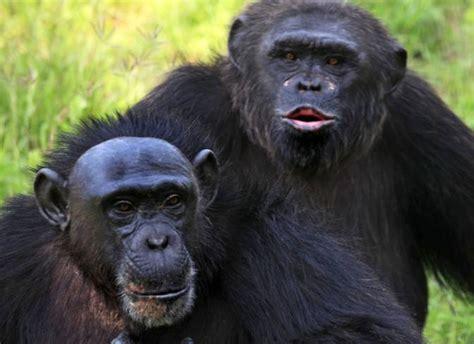 alimentazione scimmie scimmie intelligenti i babbuini identificano i vocaboli