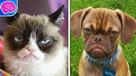 cat vs cat grumpy cat memes