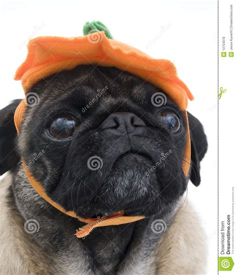 pug with hat pug with pumpkin hat royalty free stock photos image 12754078