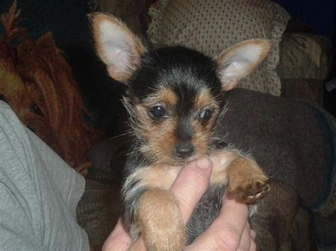 chorkie puppy chorkie puppies chorkie puppies puppy site this is what my abbigail