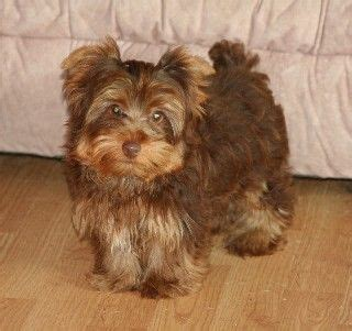 chocolate yorkie breeders 40 best images about chocolate yorkies on stud muffin yorkie and 9 month olds