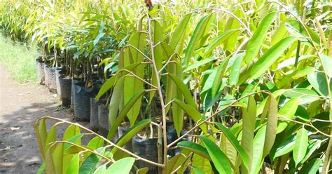 Bibit Durian Musang King Bersertifikat durian musang king si kaki tiga yang naik pamor