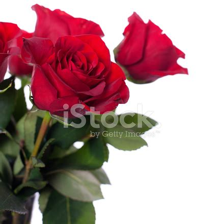 red roses on white background stock photos freeimages.com