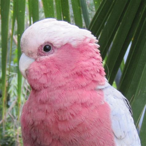 the gallery for gt pink cockatoo and galah