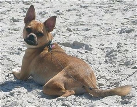 pug rat terrier mix puggat breed information and pictures