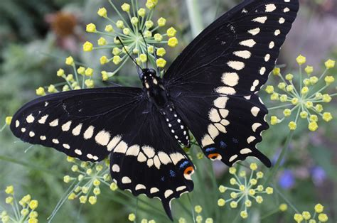 black butterfly black swallowtail butterfly life cycle kim smith designs